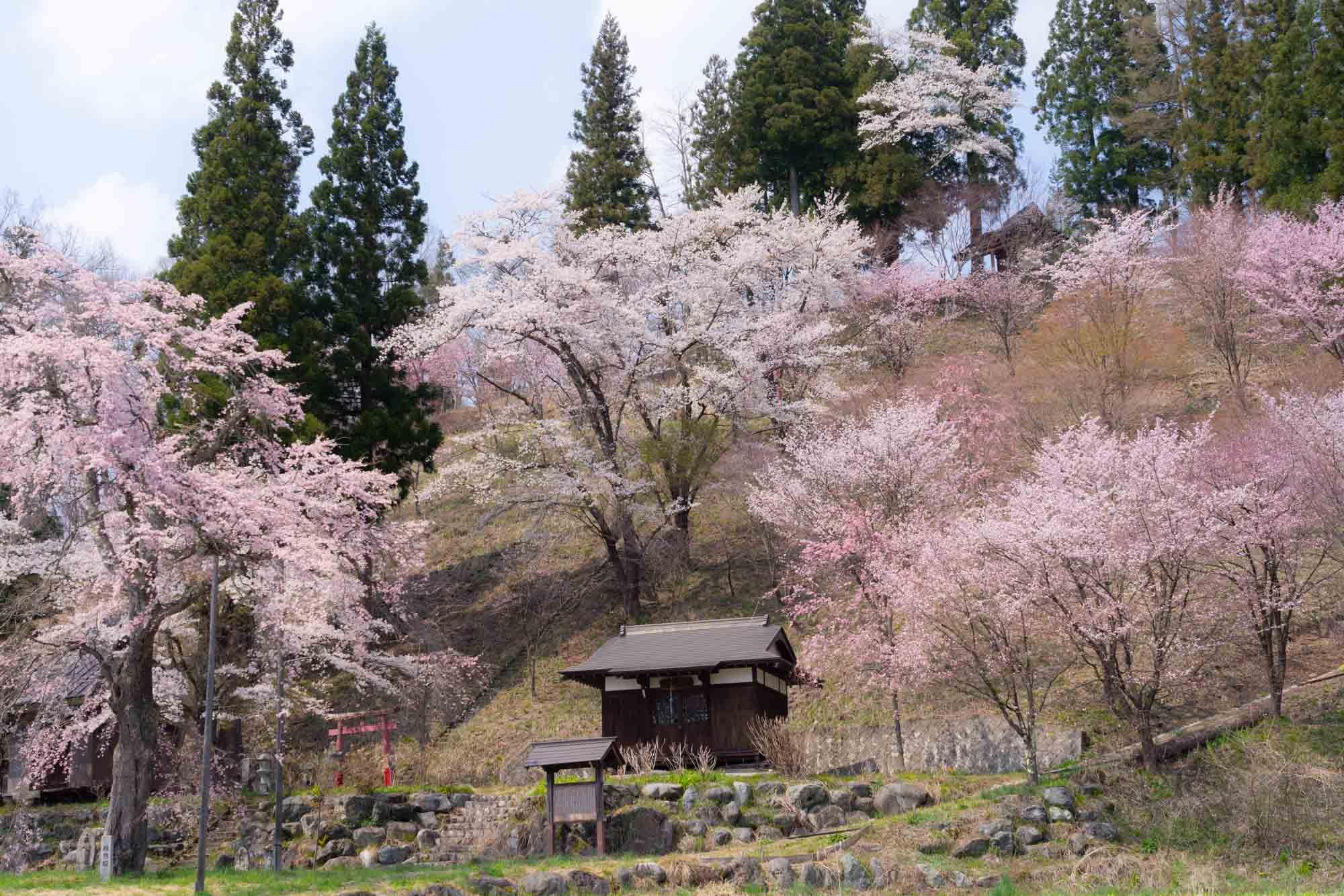 紡ぎ舎からも近い長野県白馬村の桜